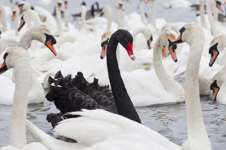 cigno nero black swan