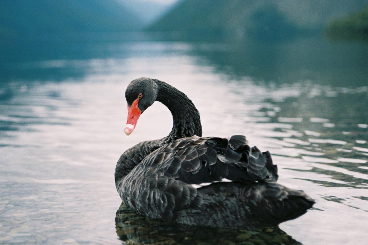 black-swan-1200